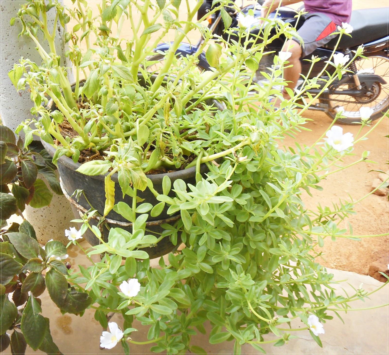 Projetos da UEPB Plantações de Vários Tipos de Plantas, Plantadas