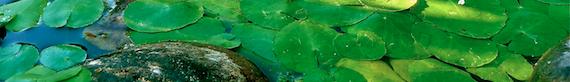 lily pad, pond