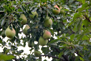 photo of ripening pears