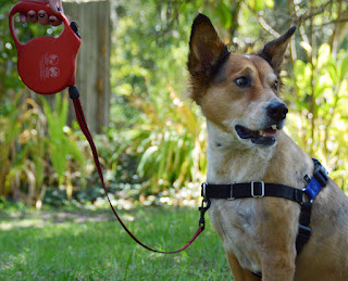improper use of retractable leash with no-pull harness