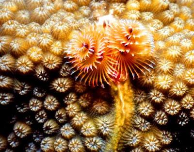 christmas tree worm 03 ΔΕΙΤΕ: Τα πιο παράξενα πλάσματα που έχουν βρεθεί στην θάλασσα!
