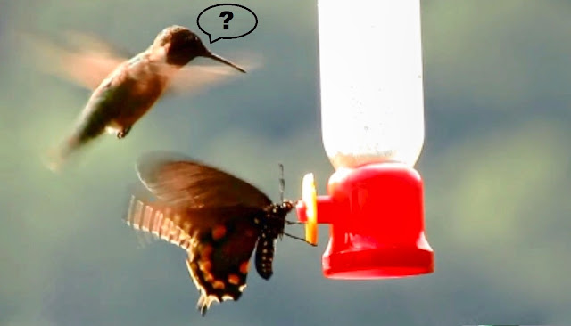 Swallowtail Butterfly Fights Ruby Throated Hummingbird