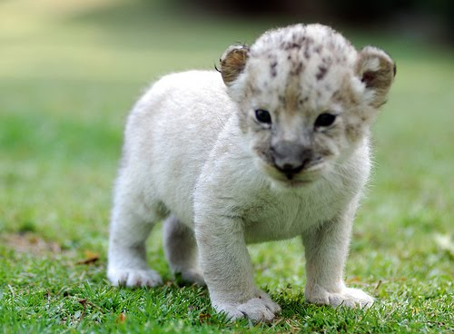 Free Desktop Background Wallpapers Cute White Lion Cubs Wallpapers