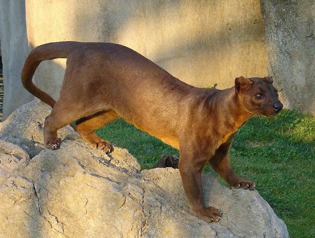Gato fossa de Madagascar, animales extraños
