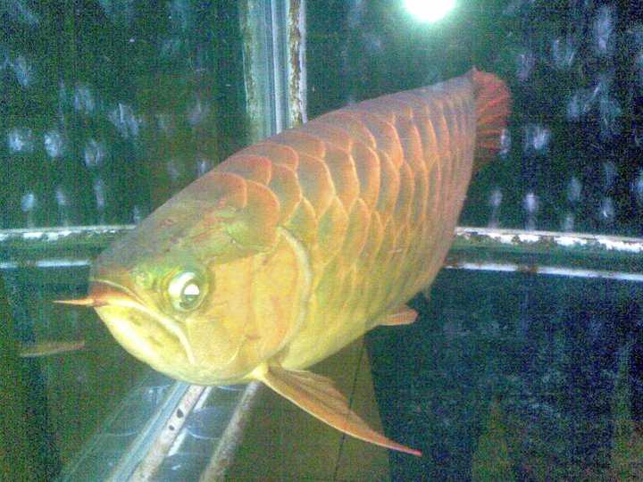 Freshwater dragon fish full size for Dragon fish for sale