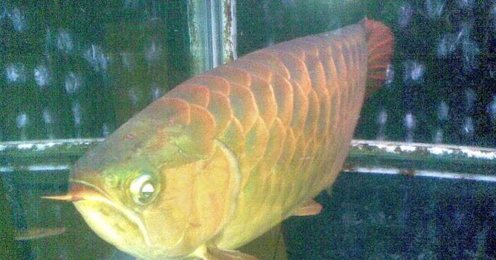 Fish gourami tilapia and other species dragon fish for Is tilapia a man made fish