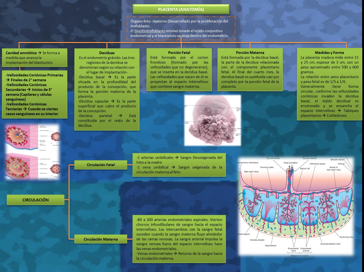 Ginecología y Obstetricia: Mapa Conceptual No. 5 Anatomía y ...