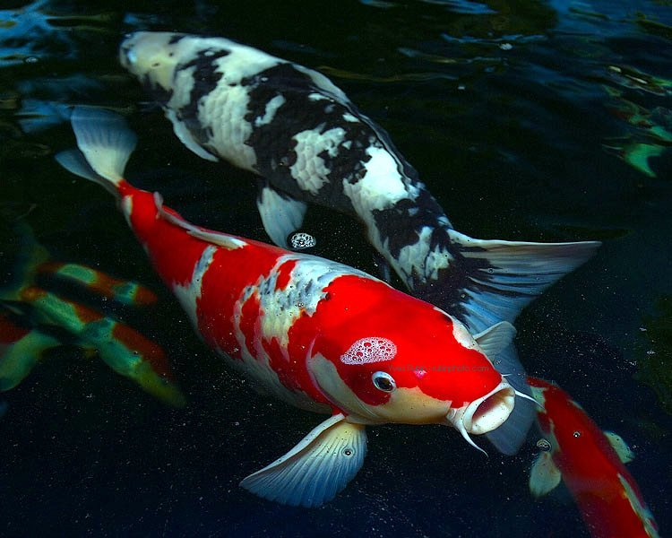 Do your homework better and faster for Koi fish species