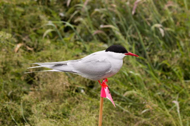 Arctic Tern - Farne Islands, Northumberland