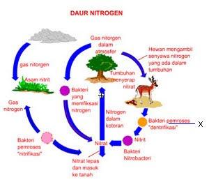 Biologi Gonzaga Daur Nitrogen Share The Knownledge