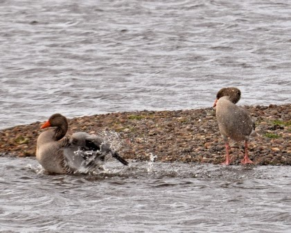 Greylag geese at Loch Leven
