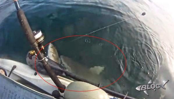 tiburón mordiendo pez