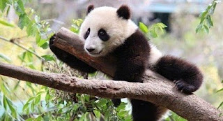Populasi Panda Raksasa Makin Meningkat