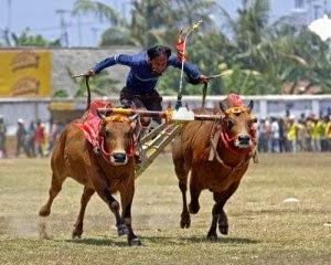 Kebudayaan Karapan Sapi Madura