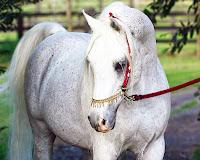 beyaz güzel arap atı