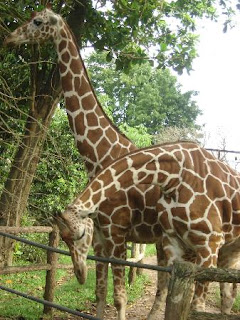 In Colombo kijken namelijk vier vrouwelijke giraffen reikhalzend uit naar een potente giraffe-man uit Europa.