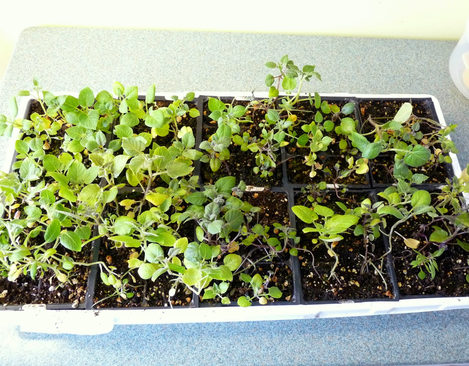 Potato plants grown from seeds