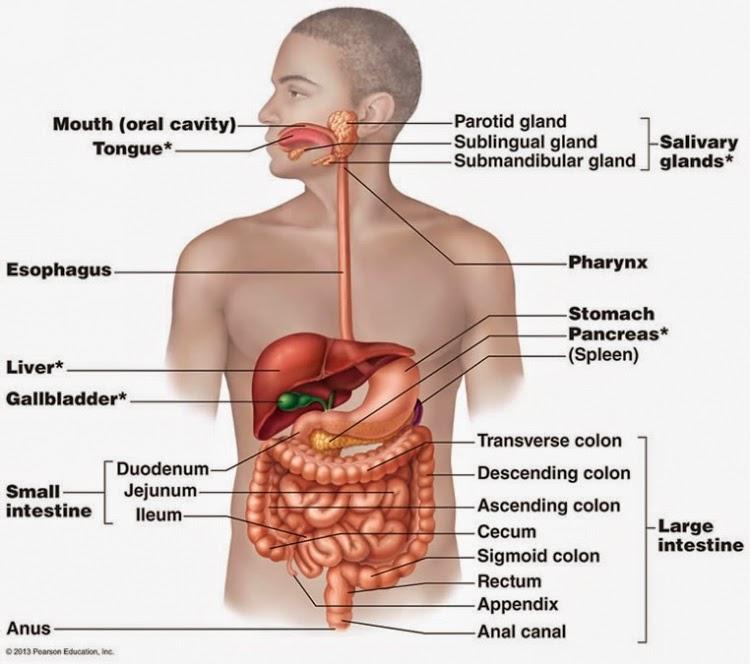 Excelente Anatomía Digestiva Inspiración - Anatomía de Las ...