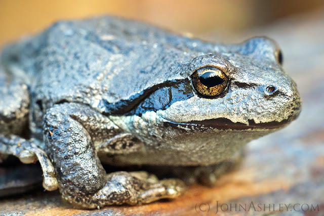 Northern Pacific Treefrog (Pseudacris regilla regilla) (c) John Ashley