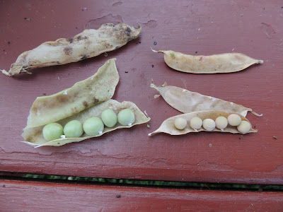Snap Pea Seed Pods