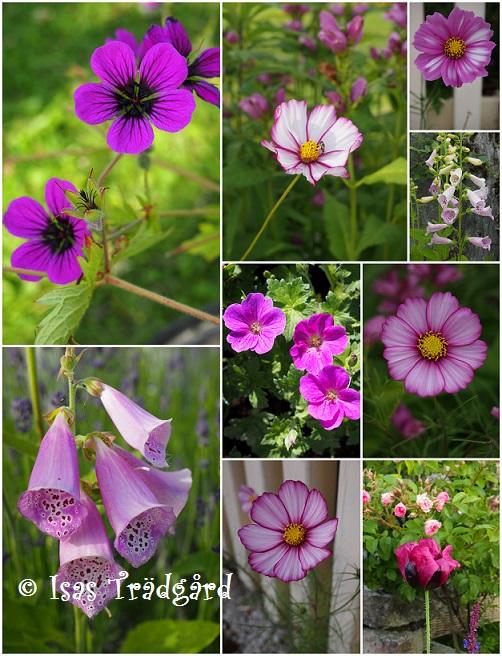 Rosa skönheter i trädgården