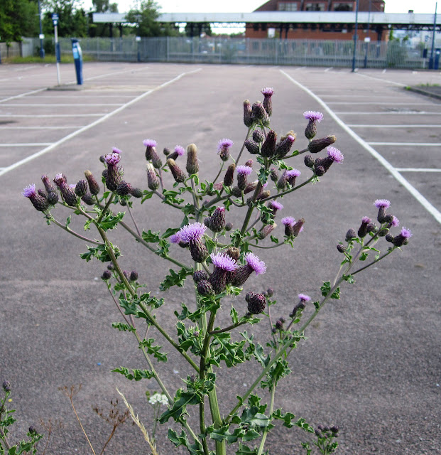 Creeping thistle flower head, Cirsium arvense.  Hayes Station car park, 19 June 2011.