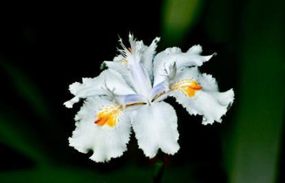 Lírio, Iris tectorum Maxim
