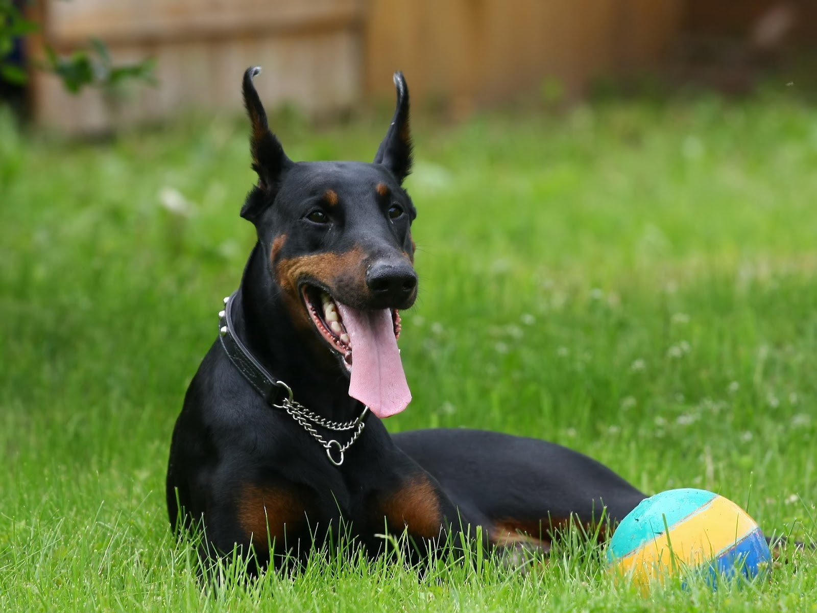 Funny Doberman Pinscher Nice Images