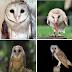 Inilah Beberapa Keunikan Burung Hantu Tyto Alba