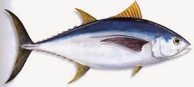 Sakaw Mancing Jenis Ikan Tuna
