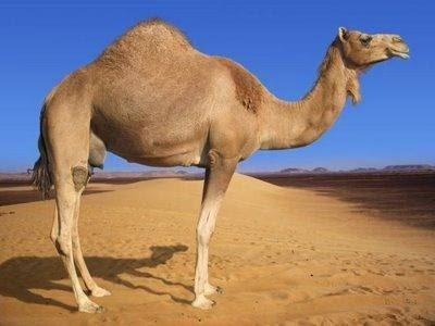 Gambar Unta Padang Pasir Onta Arab