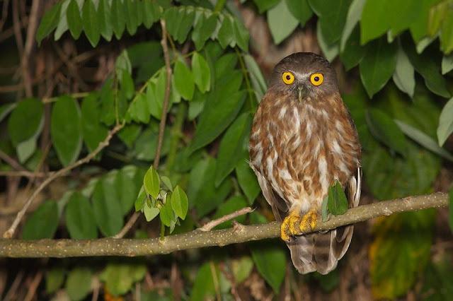 Andaman Hawk-Owl