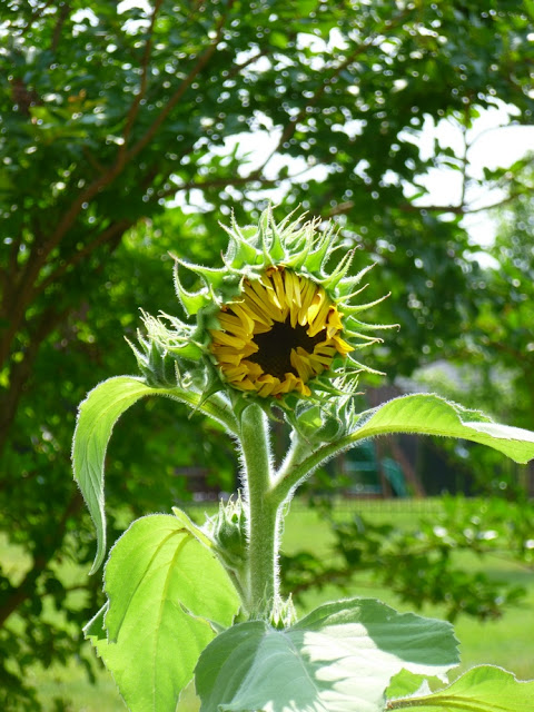 Tall sunflower, Helianthus annus