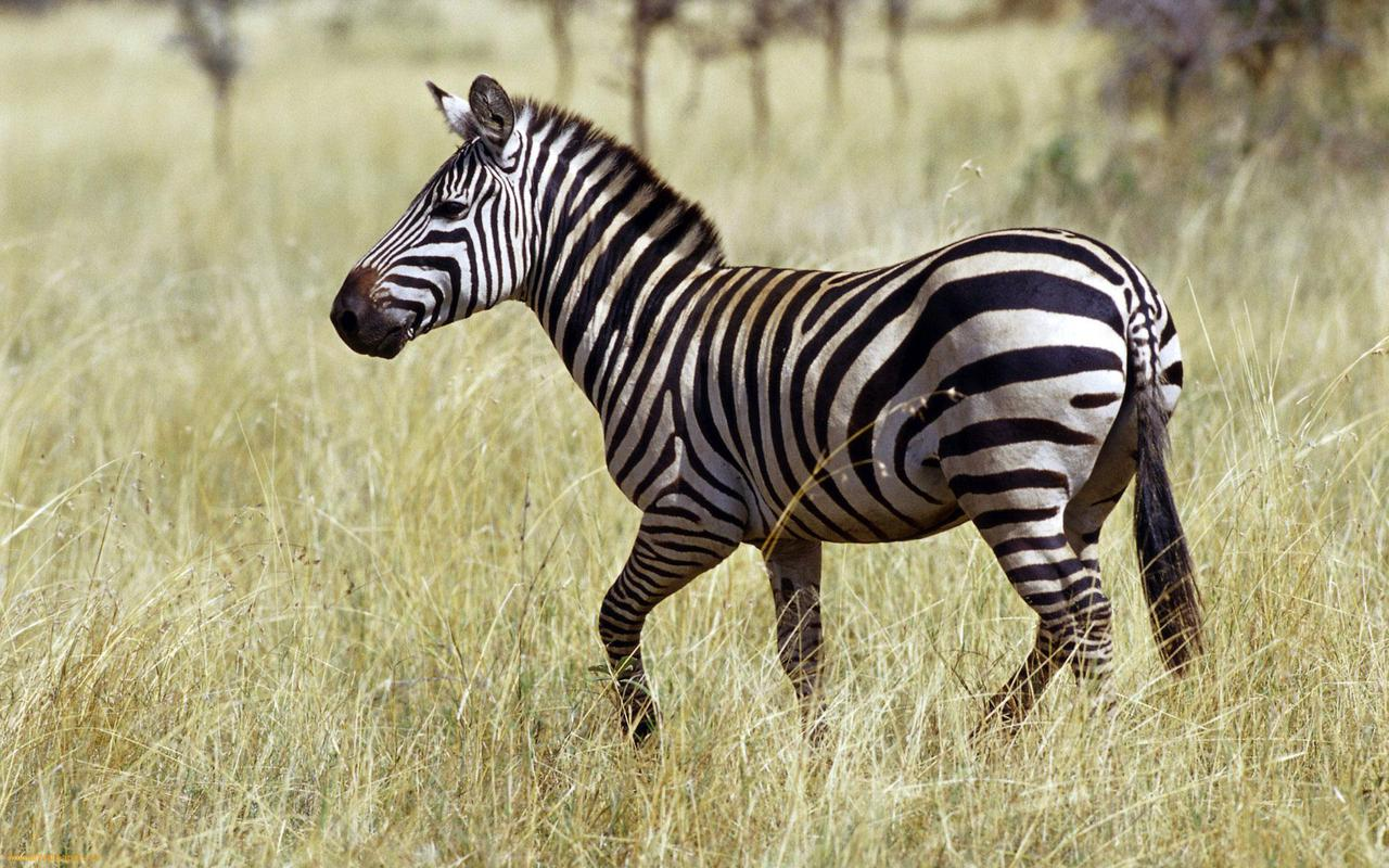 Zebras lovely hd pictures wallpapers 2013 beautiful and for Zebra wallpaper
