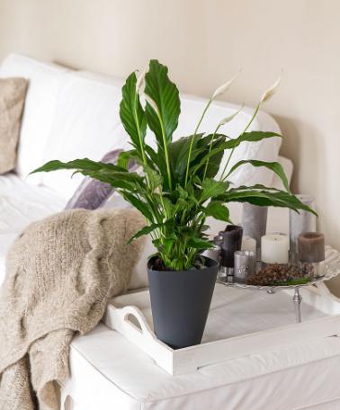Piante da appartamento che purificano l 39 aria - Piante che purificano l aria in camera da letto ...