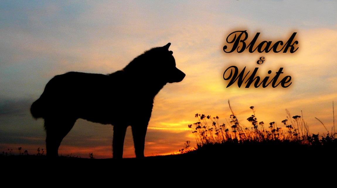 Black-White Alaskan Malamute : Cezar