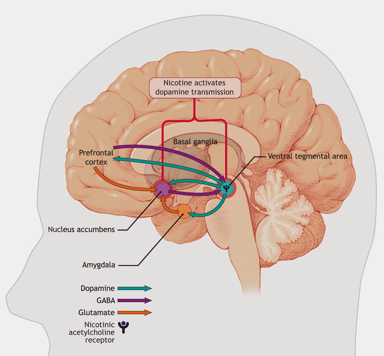 how nicotine affects brain cells Your brain is made up of billions of nerve cells  finder / mind over matter series / nicotine / how does nicotine act in the brain how does nicotine act in the.