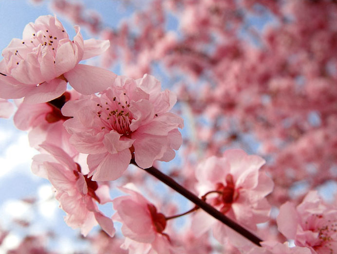 Globe encyclopedia cherry blossom Cherry blossom pictures