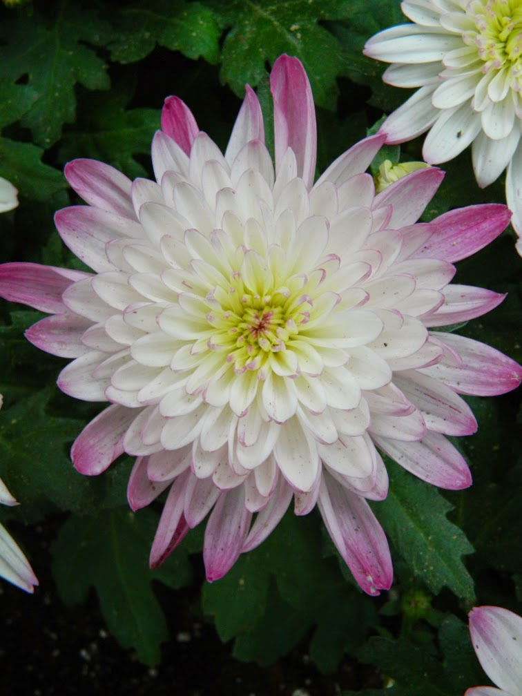 Allan Gardens Conservatory Fall Chrysanthemum Show 2014 white purple mum by garden muses-not another Toronto gardening blog