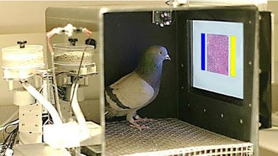Como pombas podem ajudar a detectar câncer de mama