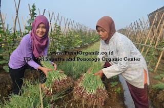 Panen Bawang Merah Organik