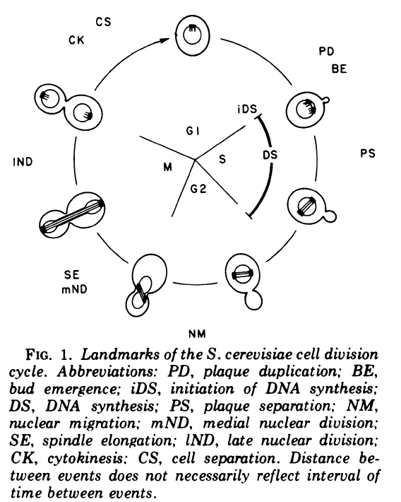 Open notebook yeast cell cycle and morphology s cerevisiae this diagram does not describe the relative time duration of each phase the relative durations will be influenced by growth state ccuart Gallery