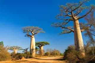 "5 Samen Seeds "" Adansonia grandidieri "" Baobab Affenbrotbaum"