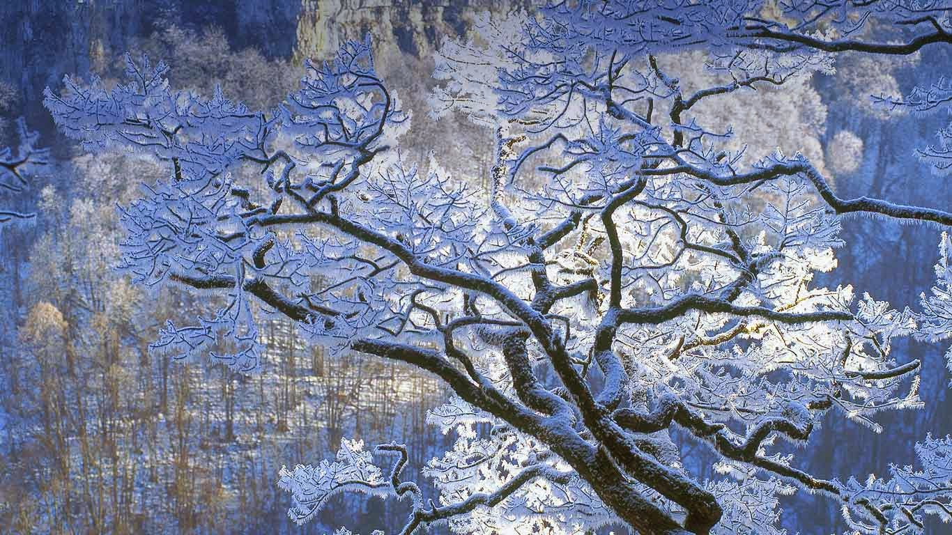 Oak branches covered in ice, Jura, France (© Michel Loup/Minden Pictures) 315