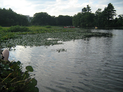 invasive species, water chestnuts, charles river