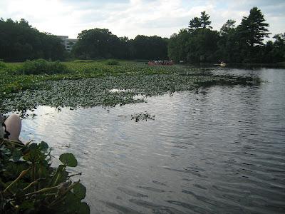 invasive species, water chestnuts, charles river