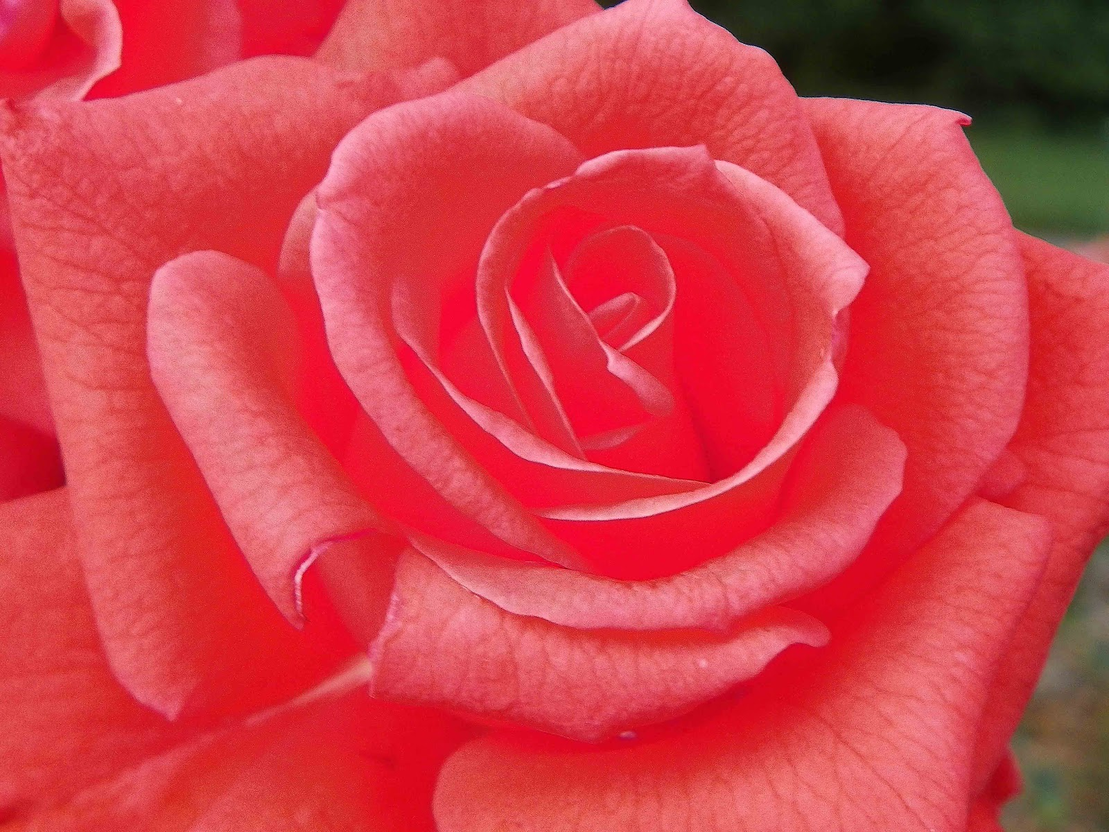Rose Wallpaper Hd Tumblr For Walls Mobile Phone Widescreen Desktop Full Size Dwonload 2013 Pink