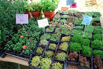 fairy garden herbs