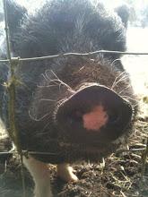 """mascot """"Porky"""""""