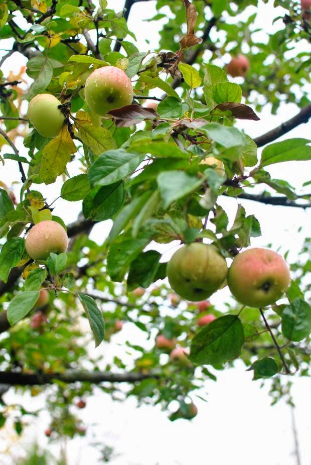 äppelträd höst